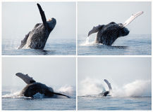 Humpback whale series breaching stock photos