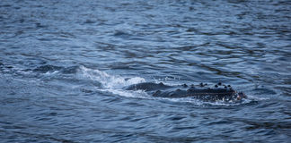 Humpback whale skirting the surface of the water Royalty Free Stock Image