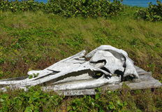 Humpback Whale Skull on Display Stock Image