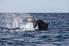 Humpback Whale Slapping Fluke on Water Royalty Free Stock Photos