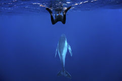 Humpback whale and snorkeler. Humback whale rising to surface with snorkeler royalty free stock photo