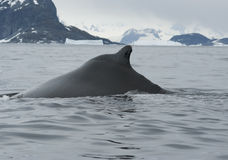 A humpback whale in the Southern Ocean-2. Stock Image