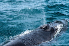 Humpback Whale spitting water, Dalvik Iceland. Humpback Whale spitting water out near Dalvik Iceland at spring Stock Photo