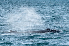 Humpback Whale spitting water, Dalvik Iceland. Humpback Whale spitting water out near Dalvik Iceland at spring Royalty Free Stock Image