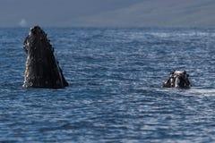 Humpback whale spyhopping near Lahaina in Hawaii. Hawaii, Maui, Lahaina, Winter stock image