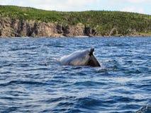 Humpback whale submerging off the coast of Bonavista. Newfoundland, Canada royalty free stock photography