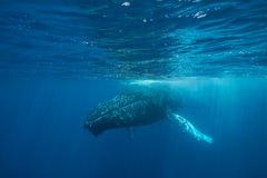 Humpback Whale at Surface Stock Photography