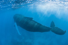 Humpback Whale 3. A Humpback whale surfaces in the Caribbean Sea to breathe. Atlantic Humpbacks spend the winter in the Caribbean mating and giving birth then stock photography
