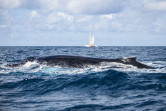 Humpback Whale Surfacing Stock Image