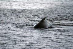 Humpback whale in Antarctica stock photos