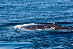 Humpback Whale surfacing and spraying water through blowhole Royalty Free Stock Image