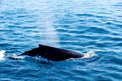 Humpback Whale surfacing and spraying water through blowhole Royalty Free Stock Photography