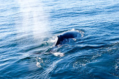 Humpback Whale surfacing and spraying water through blowhole Stock Images