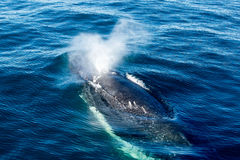 Humpback Whale surfacing and spraying water through blowhole. Migrating north through Forster, New South Wales, Australia stock images