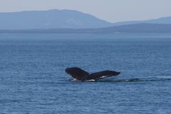 Humpback whale surfacing. The tail fins of a humpback whale on the surface stock photo