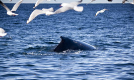 Humpback Whale Surrounded by Flock Seagulls Flying. Humpback Whale Surrounded by Flock of Seagulls Flying Royalty Free Stock Photography