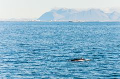 Humpback whale swimming in Iceland Royalty Free Stock Photography