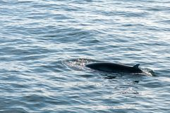 Humpback whale swimming in Iceland Royalty Free Stock Photo