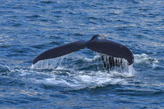 Humpback whale swimming off the coast of Husavik. Iceland stock photo