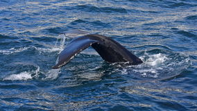 Humpback whale swimming off the coast of Husavik Stock Image