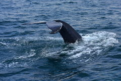 Humpback whale swimming off the coast of Husavik Royalty Free Stock Images
