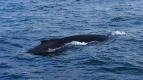 Humpback whale swimming off the coast of Husavik Stock Photography