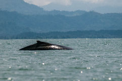 Humpback Whale. Swimming in the Pacific Ocean Stock Photo