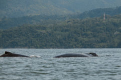 Humpback Whale. Swimming in the Pacific Ocean Royalty Free Stock Photos