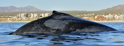 Humpback whale swimming in the Pacific Ocean, back of the whale diving royalty free stock photo