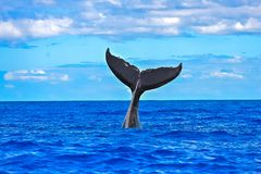 Humpback whale swimming, tail. Humpback whale swimming in the Pacific Ocean, tail of the whale diving royalty free stock photos