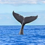 Humpback whale swimming, tail. Humpback whale swimming in the Pacific Ocean, tail of the whale diving stock photography