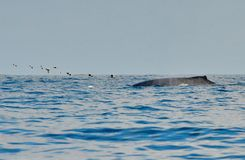 Humpback whale swimming on the surface. Of the Pacific Ocean stock image
