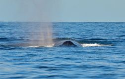 Humpback whale swimming on the surface. Of the Pacific Ocean royalty free stock photo