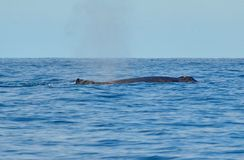 Humpback whale swimming on the surface. Of the Pacific Ocean stock photography