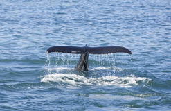 Humpback Whale Tail. A humpback whale, Megaptera novaeangliae, dives for food and shows off its tail or fluke as it goes down. Shot on location near Husavik off stock photo