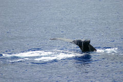 Humpback whale tail. A humpback whale tail in the water Royalty Free Stock Photo