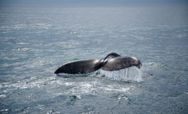 Humpback Whale Tail Royalty Free Stock Photos