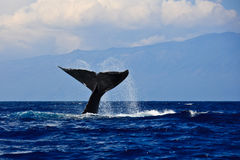 Humpback whale tail. In tropical maui hawaii Stock Photo
