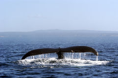Humpback Whale Tail. Humpback whale off the coast of Newfoundland Royalty Free Stock Image