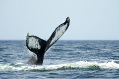 Humpback whale tail. Large tail of a humpback whale diving in the ocean Royalty Free Stock Image
