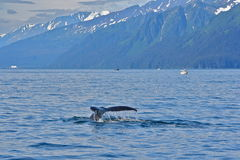 Humpback whale tail. In Alaska Royalty Free Stock Photo
