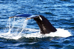 Humpback Whale Tail. A Humpback whale tail, seen in the waters of the Bay of Fundy, off the coast of New Brunswick, Canada stock images