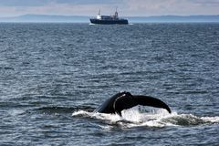 Humpback Whale Tail. A Humpback whale raises its tail fluke as it dives in the Bay of Fundy, off the coast of New Brunswick, Canada stock photos