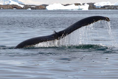 Humpback whale tail at an angle which dives into the waters of t Royalty Free Stock Photography