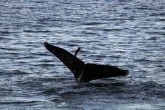 Humpback whale, Antarctic peninsula Royalty Free Stock Photo