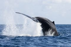 Humpback Whale Tail Breach in the Atlantic. A Humpback whale, Megaptera novaeangliae, breaches with its tail out of the Atlantic Ocean. Each year the North Stock Photo