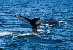 Humpback whale tail breaching, on whale watching trip, on Iceland stock photo