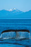 Humpback whale tail cascading a curtain of water (Megaptera nova Royalty Free Stock Image