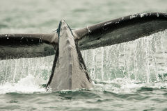Humpback Whale Tail. Close Up Image of Humpback Whale Tail With Water Spilling From Back stock images
