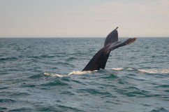 Humpback Whale Tail. A humpback whale dives deep and shows its tail stock photography